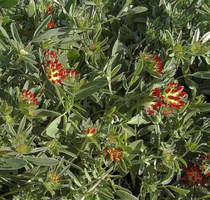 Purpurwundklee - Anthyllis montana