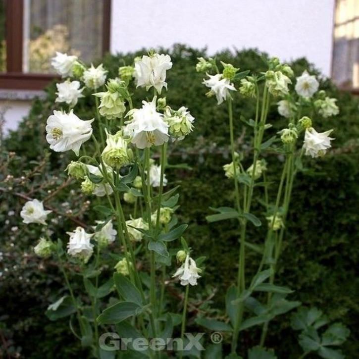 Akelei Winky White - Aquilegia vulgaris