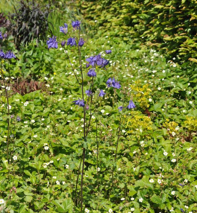 Garten-Akelei - Aquilegia vularis