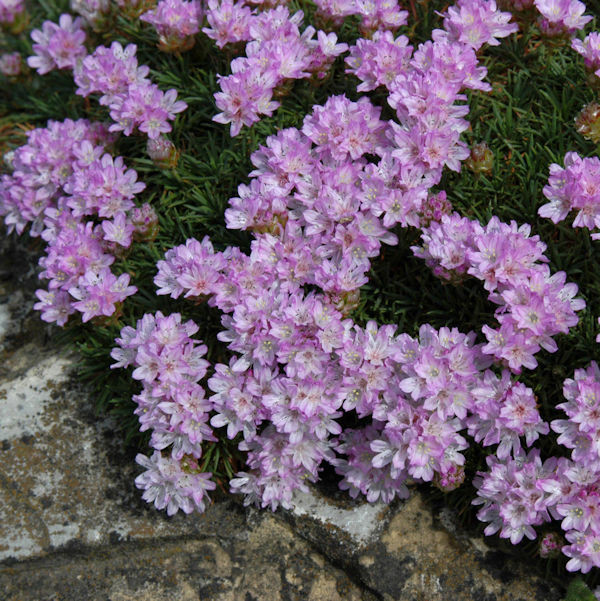Grasnelke - Armeria juniperifolia