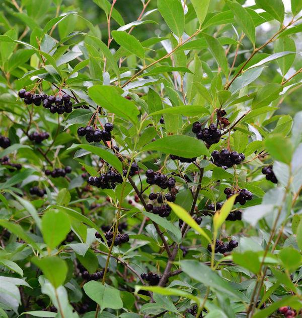 Apfelbeere Professor Ed 40-60cm - Aronia melanocarpa