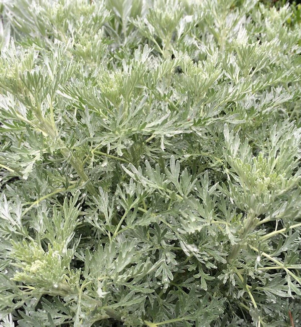 Eberraute Powis Castle - Artemisia abrotanum