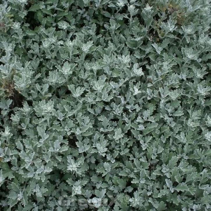 Gabelblatt  - Artemisia stelleriana