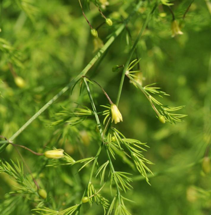 Zierspargel Spitzenschleier - Asparagus pseudoscaber Spitzenschleier