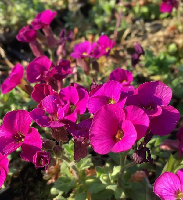Blaukissen Bressingham Red - Aubrieta