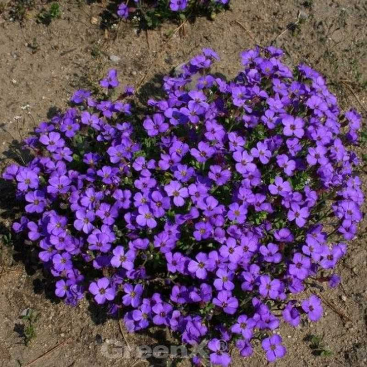 Blaukissen Blue Emperor - Aubrieta cultorum