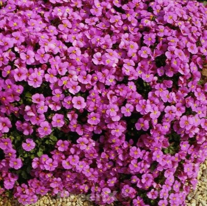 Blaukissen Cascade Purpur - Aubrieta cultorum