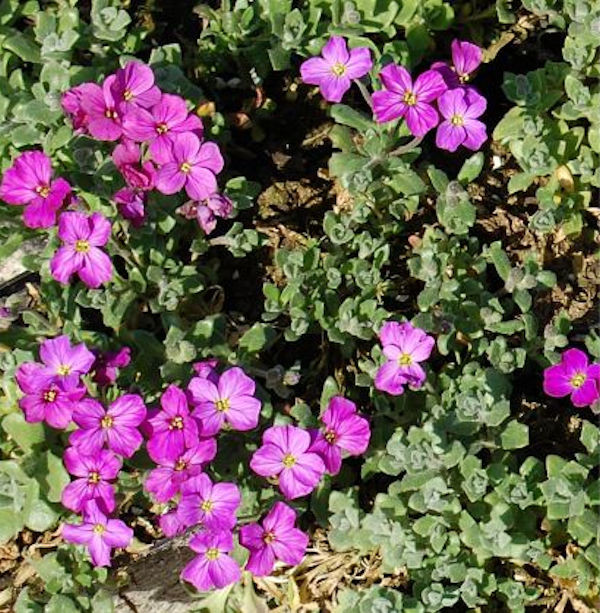 Blaukissen Cascade Rot - Aubrieta cultorum