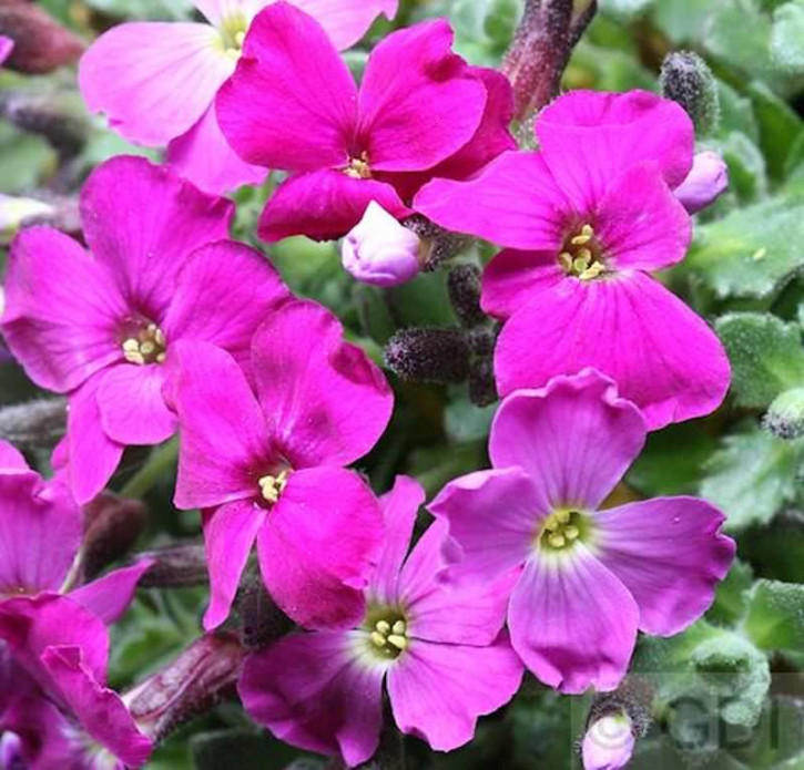 Blaukissen Kitte Rose Red - Aubrieta cultorum