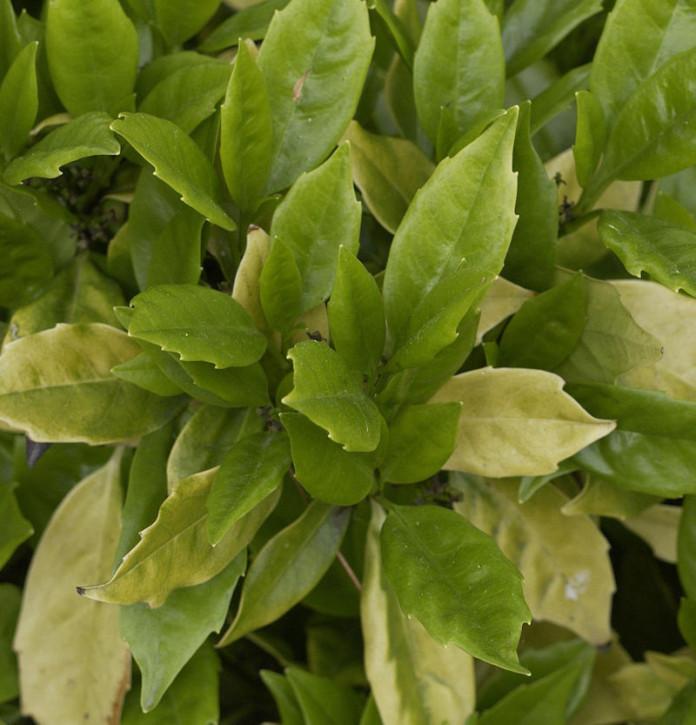 Japanische Aucube Rozannie 100-125cm - Aucuba japonica