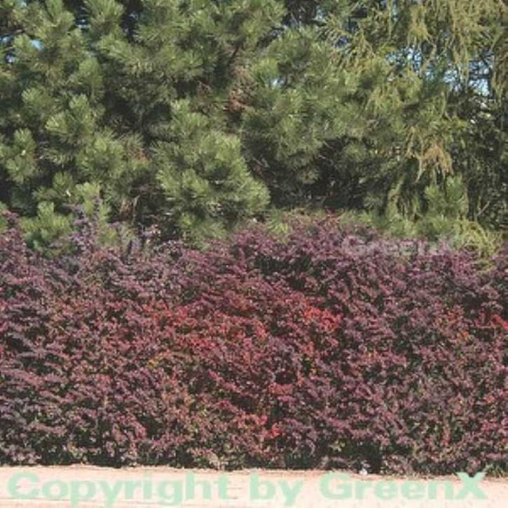 Rote Heckenbeberitze 80-100cm - Berberis thunbergii Atropurpurea