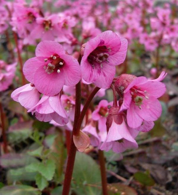 Bergenie Rosi Klose - Bergenia cordifolia