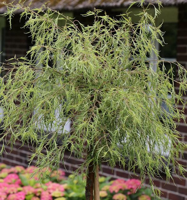 Geschlitztblättrige Zwerg Birke Karaca 30-40cm - Betula pendula