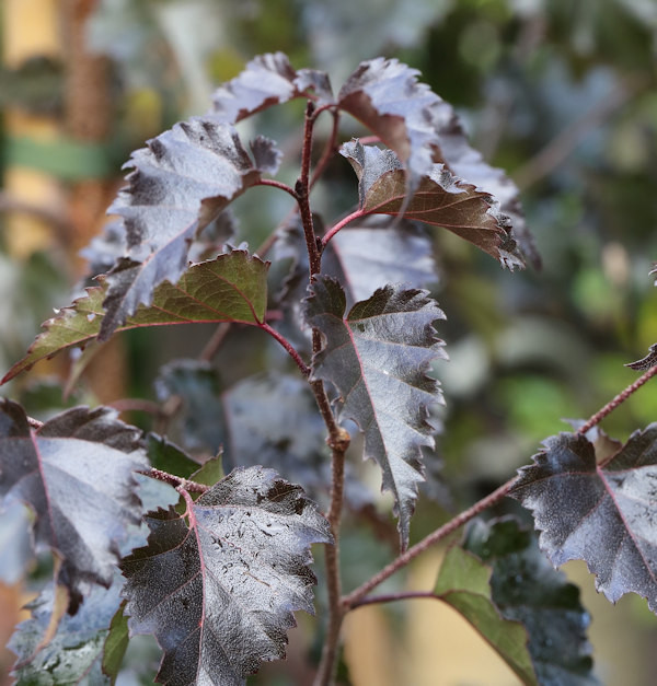 Rotblättrige Hängebirke Royal Frost 100-125cm - Betula pendula