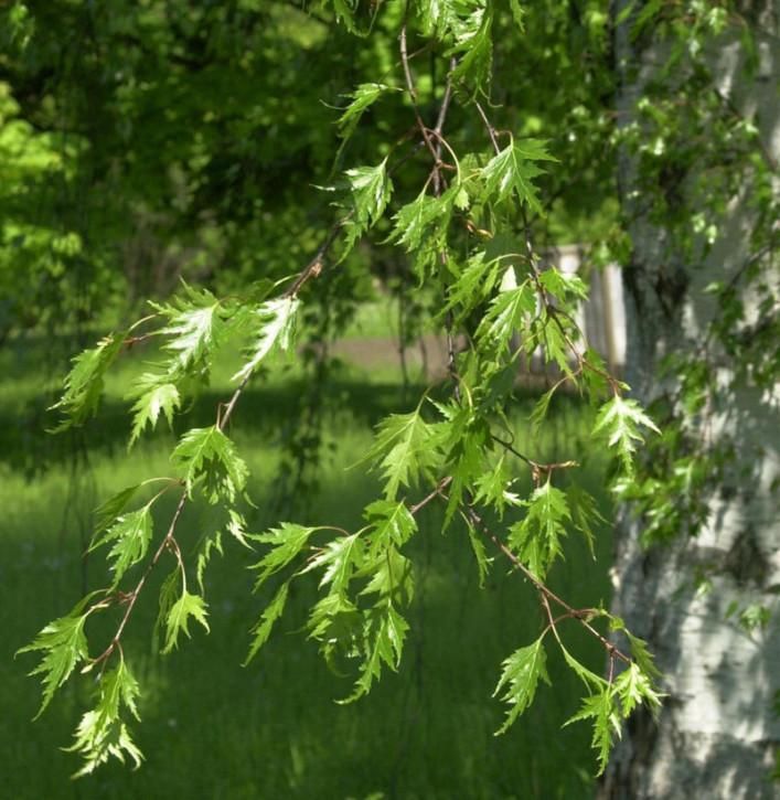 Geschlitzblättrige Birke 100-125cm - Betula pendula
