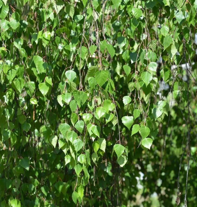 Hochstamm Trauer-Birke Youngii 100-125cm - Betula pendula