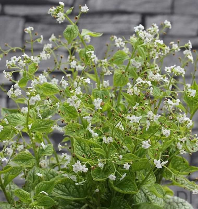 Kaukasus Vergißmeinnicht Betty Bowering - Brunnera macrophylla