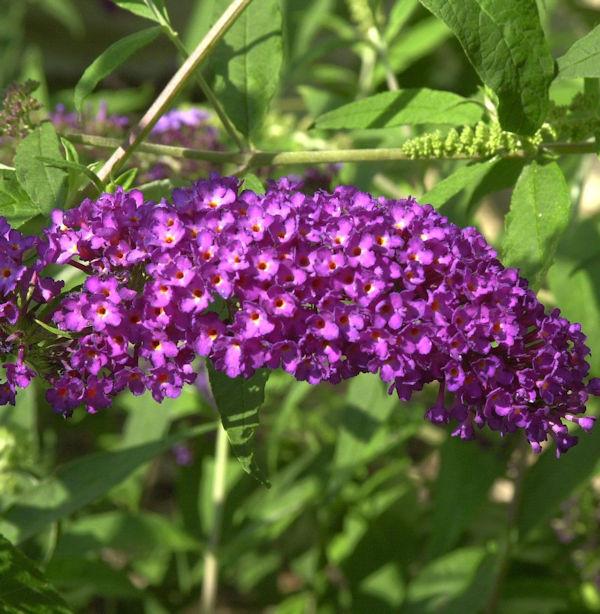Zwerg Sommerflieder Purple Chip 30-40cm - Buddleja