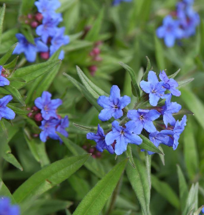 Blauer Steinsamen - Buglossoides purprocerulea