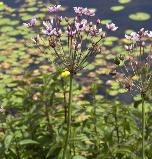 Blumenbinse - Butomus umbellatus