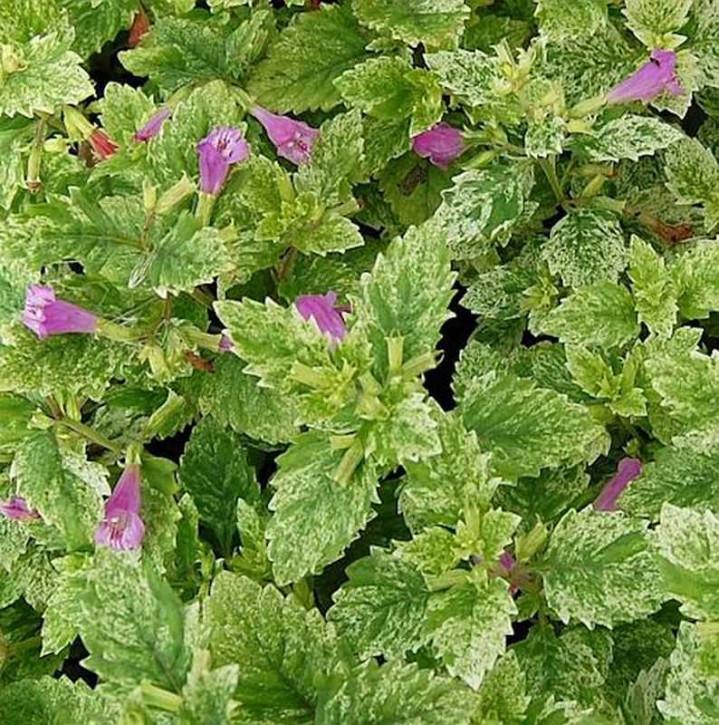 Bergminze Steinquendel Variegata - Calamintha grandiflora