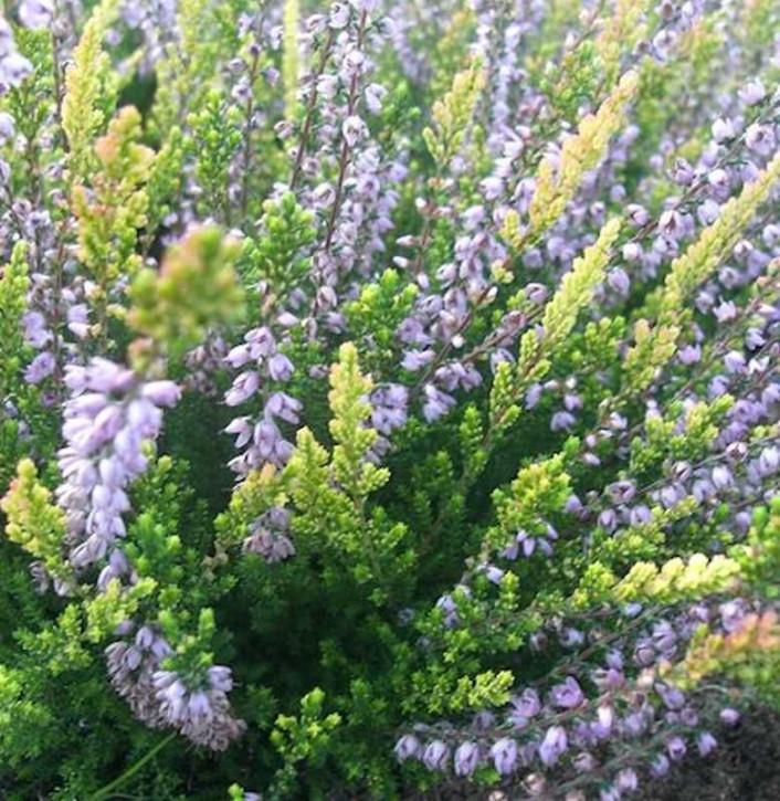 10x Besenheide Easter Bonfire - Calluna vulgaris