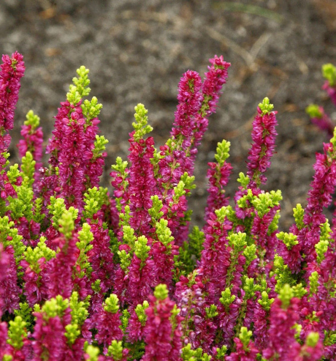 10x Besenheide Yellow Beauty - Calluna vulgaris Yellow Beauty