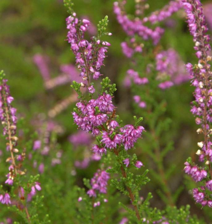10x Besenheide Carmen - Calluna vulgaris