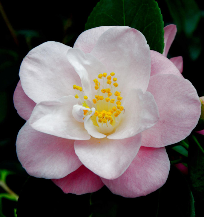 Kamelie Fairy Blush 40-60cm - Camellia lutchuensis