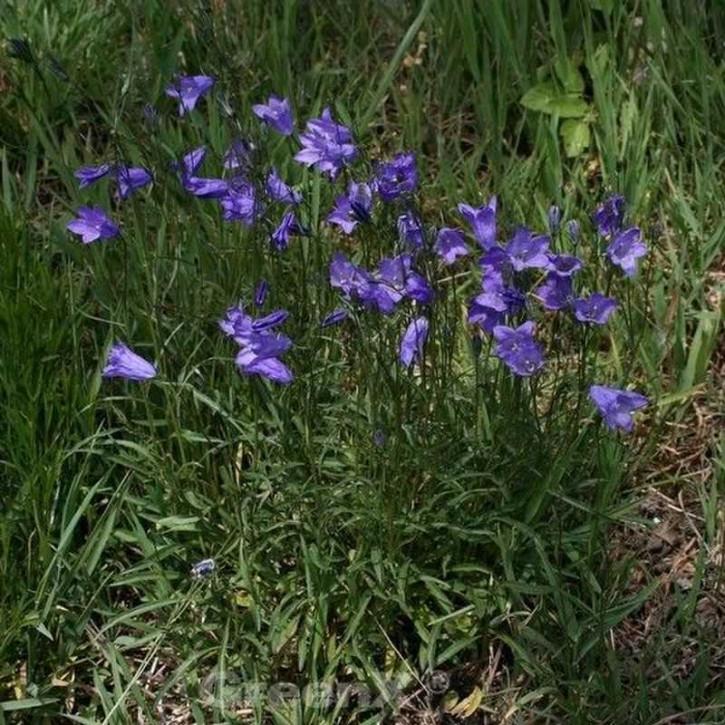 Rundblättrige Glockenblume - Campanula rotundifolia