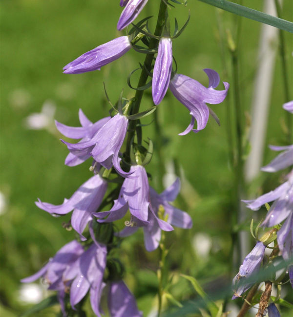 Nesselglockenblume - Campanula trachelium