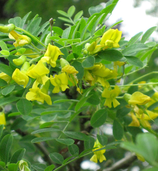 Hoher Erbsenstrauch 125-150cm - Caragana arborescens