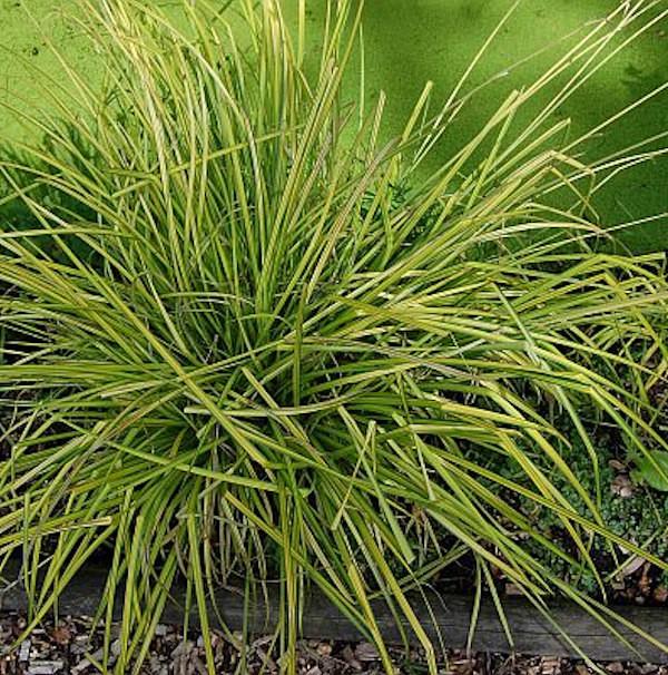 Steife Segge Aurea - Carex aurea