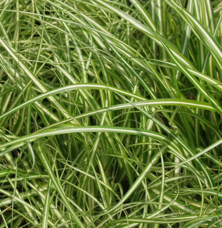 Segge Camara® - großer Topf - Carex brunnea