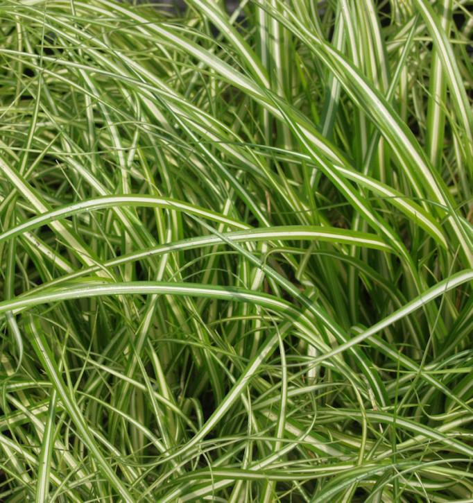 schmalblättrige Segge - großer Topf - Carex brunnea Variegata