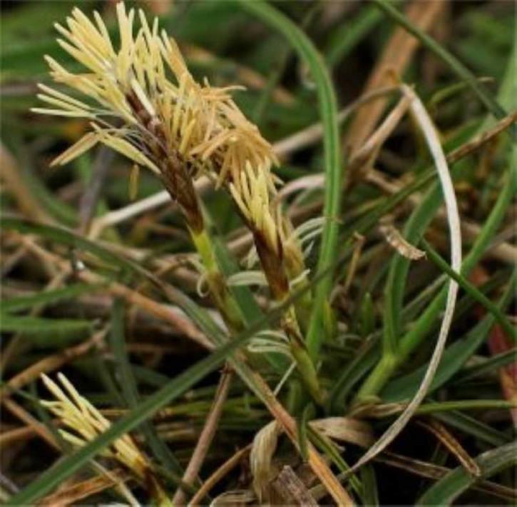 Niedrige Segge - Carex humilis