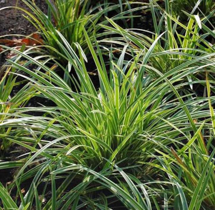 Teppich Japan Segge Ice Dance - Carex foliosissima