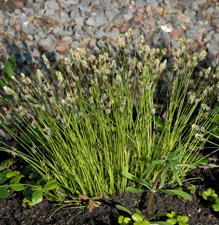 Bergsegge - Carex montana