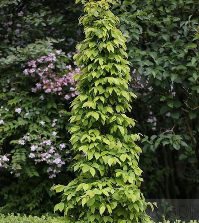 Hainbuche Lucas 100-125cm - Carpinus betulus