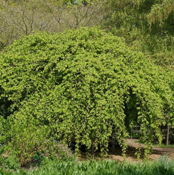 Hänge Hainbuche 100-125cm - Carpinus betulus