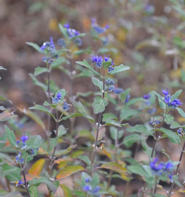 Bartblume Grand Bleu 40-60cm - Caryopteris clandonensis