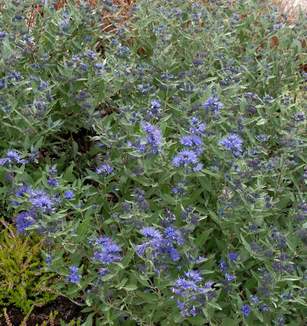 Bartblume Kew Blue 40-60cm - Caryopteris clandonensis