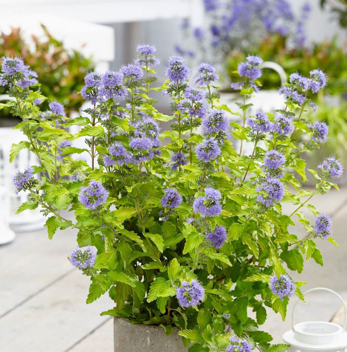 Bartblume Worchester Gold 30-40cm - Caryopteris clandonensis