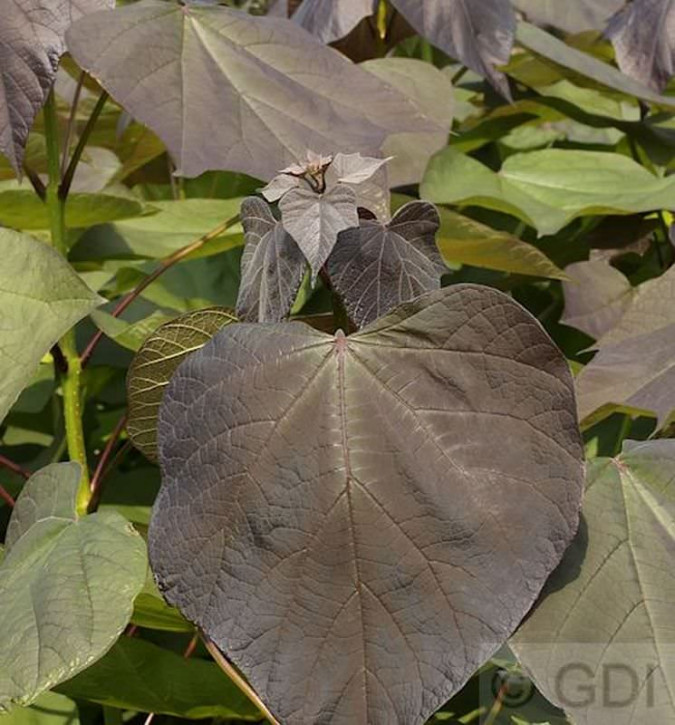 Trompetenbaum Purpurea 125-150cm - Catalpa erubescens