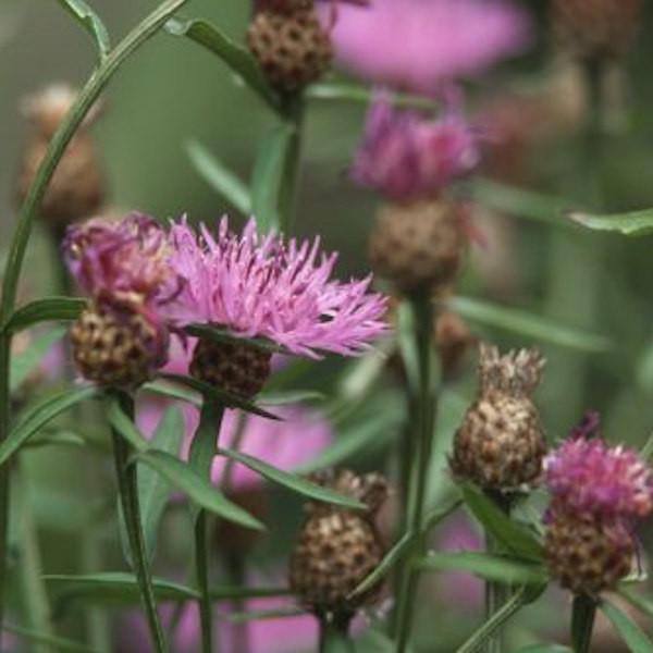 Flockenblume Pulchra Major - Centaurea cultorum