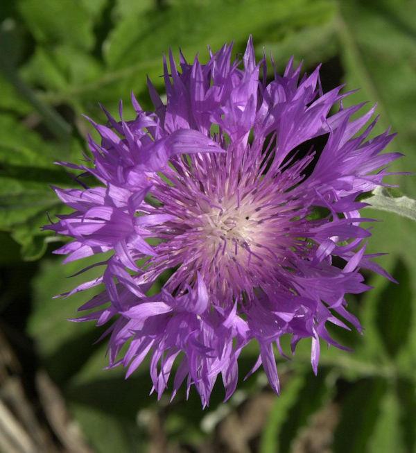 Flockenblume - Centaurea dealbata