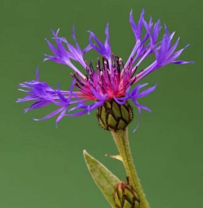 Bergflockenblume Violetta - Centaurea montana