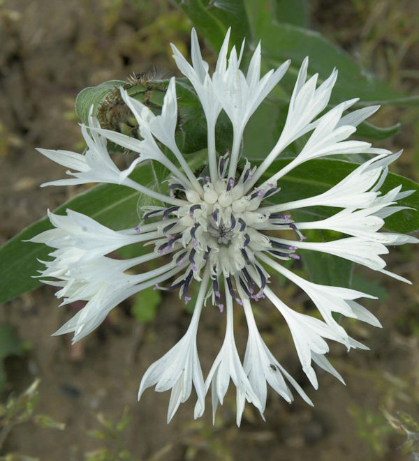 Bergflockenblume Alba - Centaurea montana