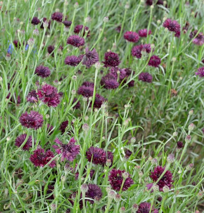 Rote Berg Flockenblume - Centaurea atropurpurea