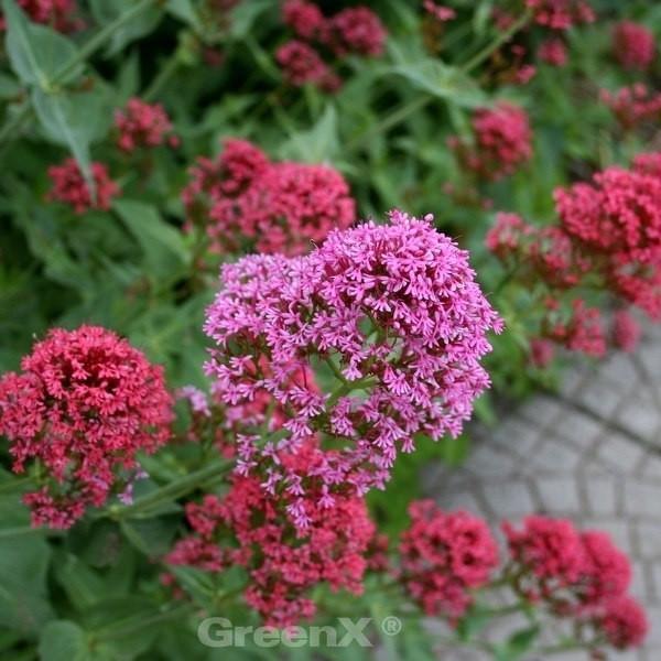 Spornblume - Centranthus ruber